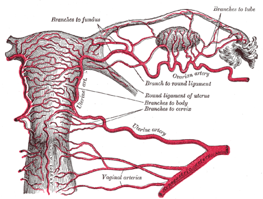 Illustration of the uterus and vagina, courtesy Gray's Anatomy via WikiMedia.
